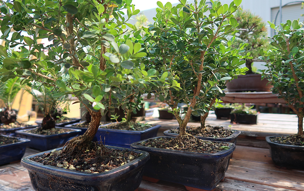 Boxwoods will grow decently in low light but thrive in filtered light conditions. Strong direct sunlight may cause the leaves to burn. & Boxwood Bonsai Tree Care Information - Eastern Leaf Knowledge Base azcodes.com