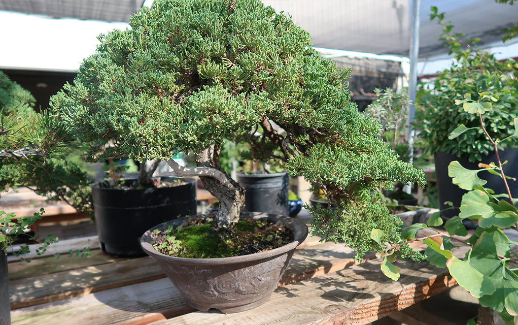 Juniper Bonsai Tree Care Information - Eastern Leaf