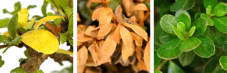 Causes For Yellow Leaves Bonsai Trees