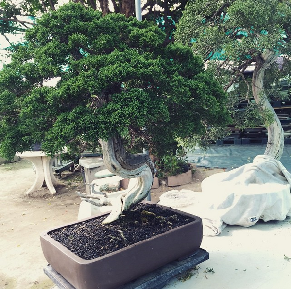 Juniper Bonsai Tree