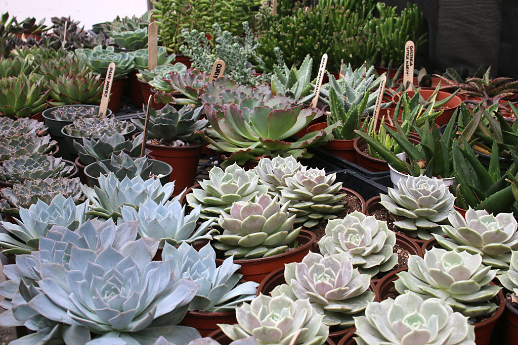 Types Of Succulents Eastern Leaf Knowledge Base