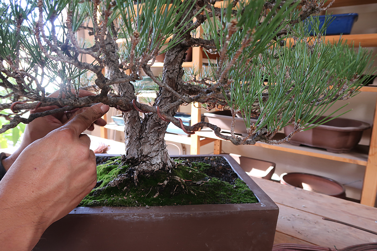 Wiring Boxwood Bonsai Solutions My Tips Larger Branches Eastern Leaf Knowledge