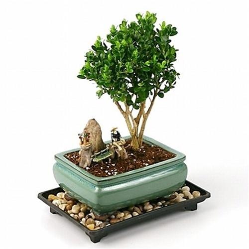 Boxwood Bonsai Tree Care Information Eastern Leaf Knowledge Base