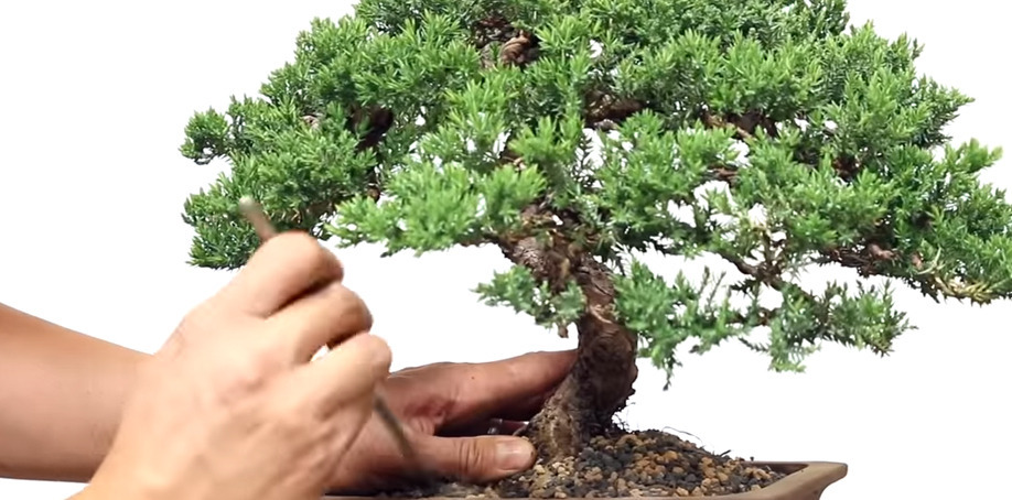 Bonsai Repotting Mistakes To Avoid Eastern Lef Knowledge Center