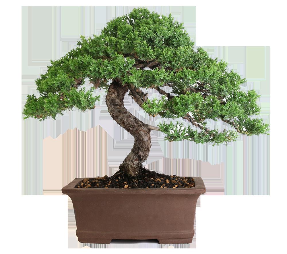 What Is A Bonsai Eastern Leaf Knowledge Base