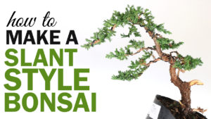 Slant Style Juniper Bonsai Tree