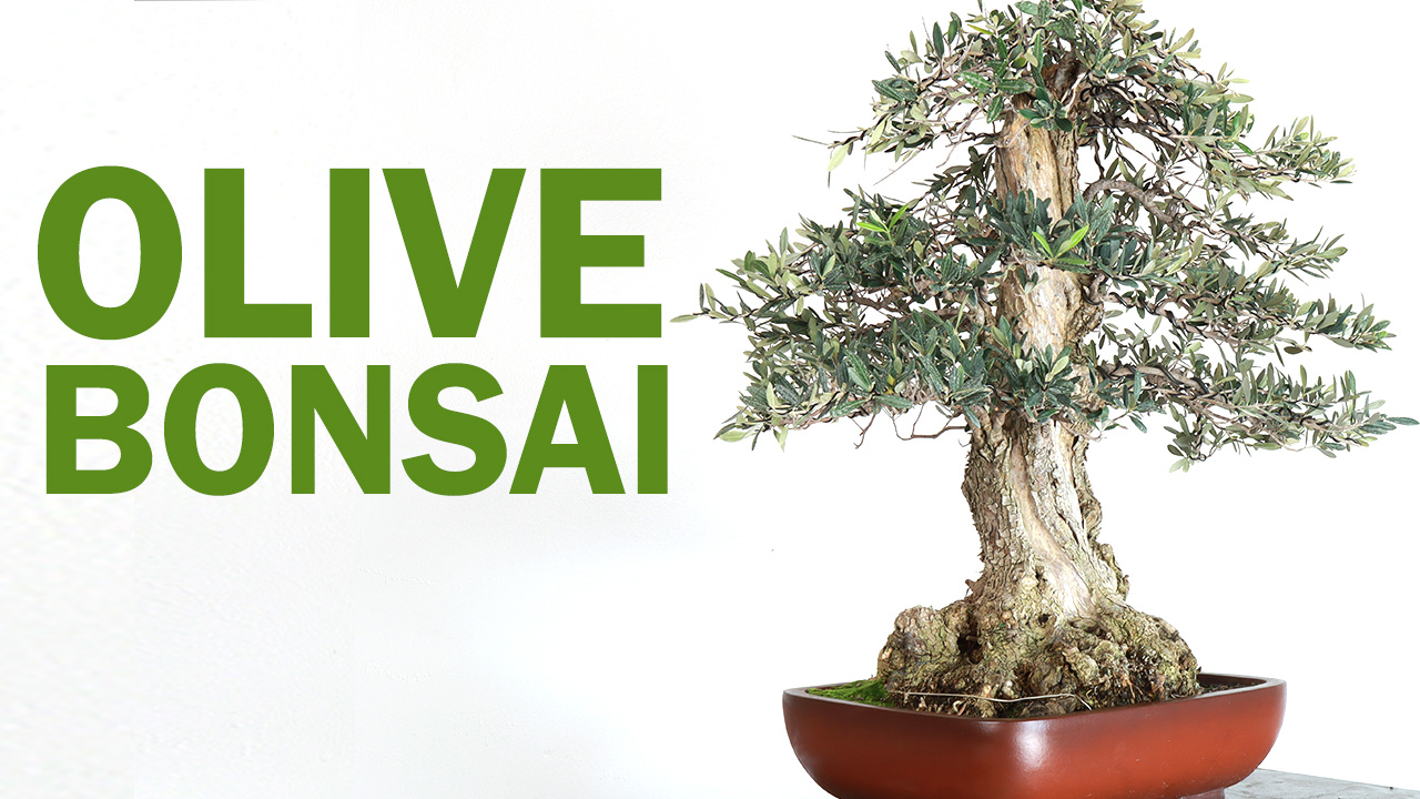 Olive Bonsai Tree