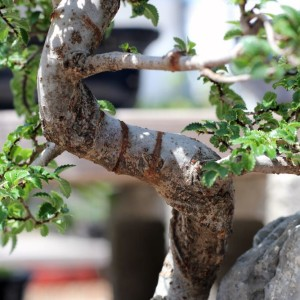 Dealing With Scarring On Your Bonsai Tree Trunk Eastern