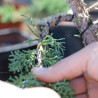 Bonsai Wiring Tips & Tricks:  How to get the most out of wiring larger branches